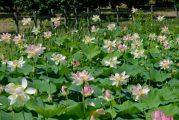 Sbocciati i fior di loto del laghetto di Vezza