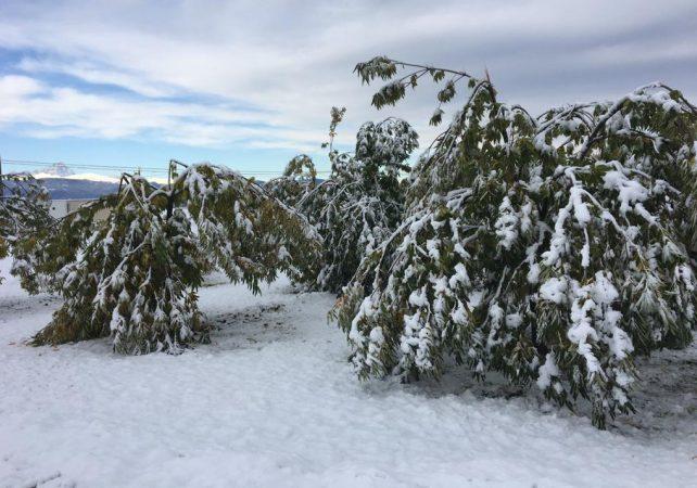 Danni da neve, Coldiretti Cuneo: castagneti e noccioleti in ginocchio in tutta la Granda
