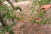 Il mandorlonuova opportunità per l'agricoltura del Roero?