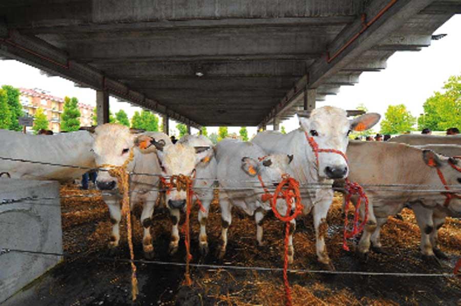 Ad Alba allevatori riuniti alla Grande rassegna di bovini piemontesi di Sottorazza Albese
