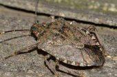 Individuato un insetto locale in grado di contrastare la cimice asiatica
