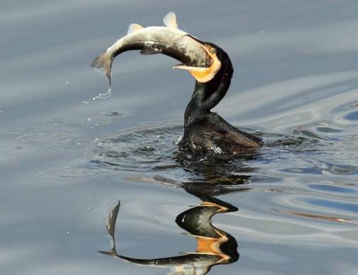 Allo studio un piano di abbattimento dei cormorani nei fiumi della Granda