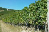 Dolcetto: meglio le vigne oltre i 400 metri?