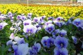 100 sfumature di viole: a Vaccheria i fiori sbocciano anche in autunno