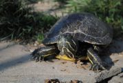 L'abbandono delle tartarughe palustri americane, un centro di raccolta a Sommariva Perno
