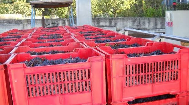 Vendemmia, Coldiretti Cuneo: 'Si raccolgono uve di alta qualità, ma va sventata l'incognita dei prezzi'