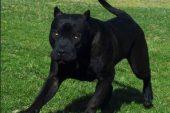 Giallo della pantera: i sospetti cadono su un cane Corso