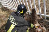 Rimane imprigionato nella recinzione, capriolo salvato dai vigili del fuoco
