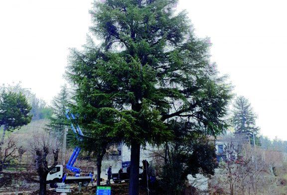 Neive abbattuto il cedro del Rondò, il Comune: era malato