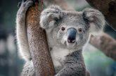 Domenica ad Alba un concerto di beneficenza per raccogliere fondi per gli animali colpiti dagli incendi in Australia