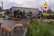 Villafalletto, camion per il trasporto dei maiali si rovescia in strada