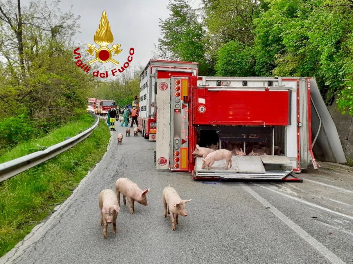 Si ribalta rimorchio sulla strada carico di suini a Sant'Albano Stura