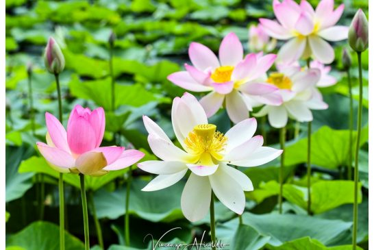 Vezza: quel laghetto dal sapore orientale che fiorisce in piena estate